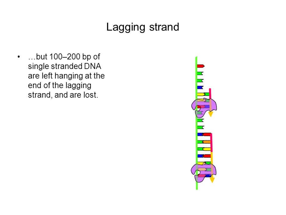 Lagging strand …but 100–200 bp of single stranded DNA are left hanging at the end of the lagging strand, and are lost.