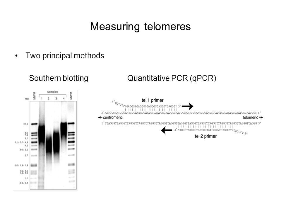 Measuring telomeres Two principal methods Southern blottingQuantitative PCR (qPCR)