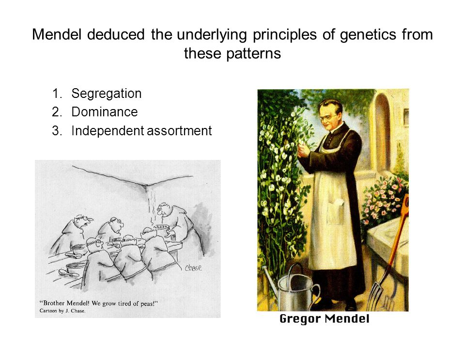 Mendel deduced the underlying principles of genetics from these patterns 1.Segregation 2.Dominance 3.Independent assortment