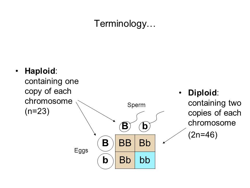 Terminology… Haploid: containing one copy of each chromosome (n=23) Bb BBBBb b bb Eggs Sperm Diploid: containing two copies of each chromosome (2n=46)