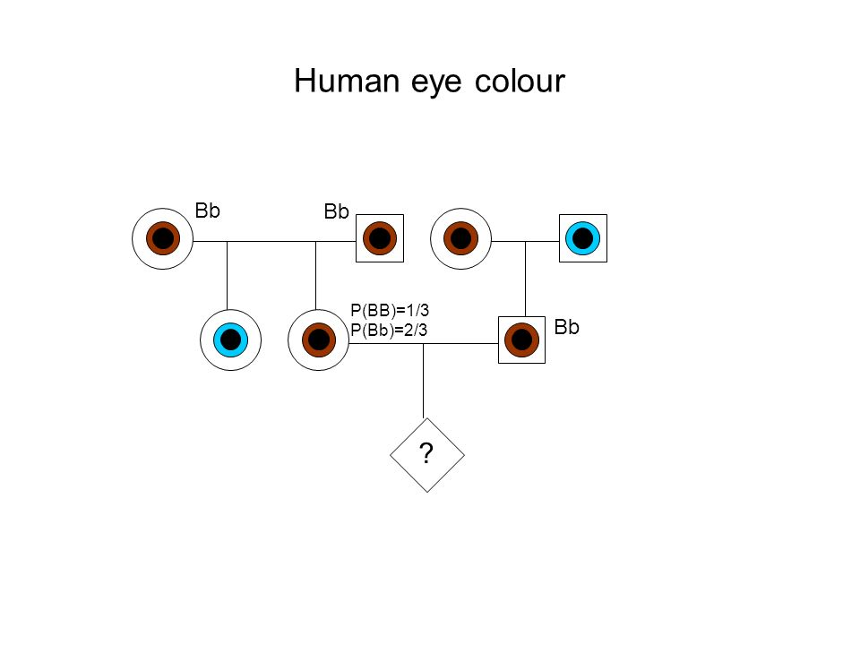 Human eye colour ? Bb P(BB)=1/3 Bb P(Bb)=2/3