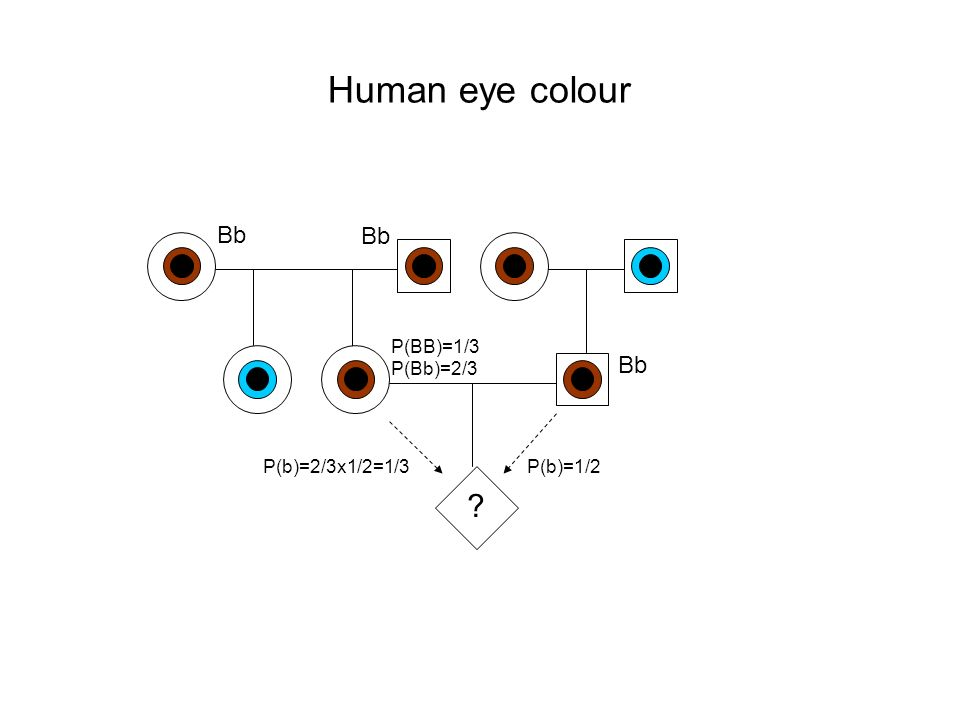 Human eye colour ? Bb P(BB)=1/3 Bb P(Bb)=2/3 P(b)=2/3x1/2=1/3P(b)=1/2