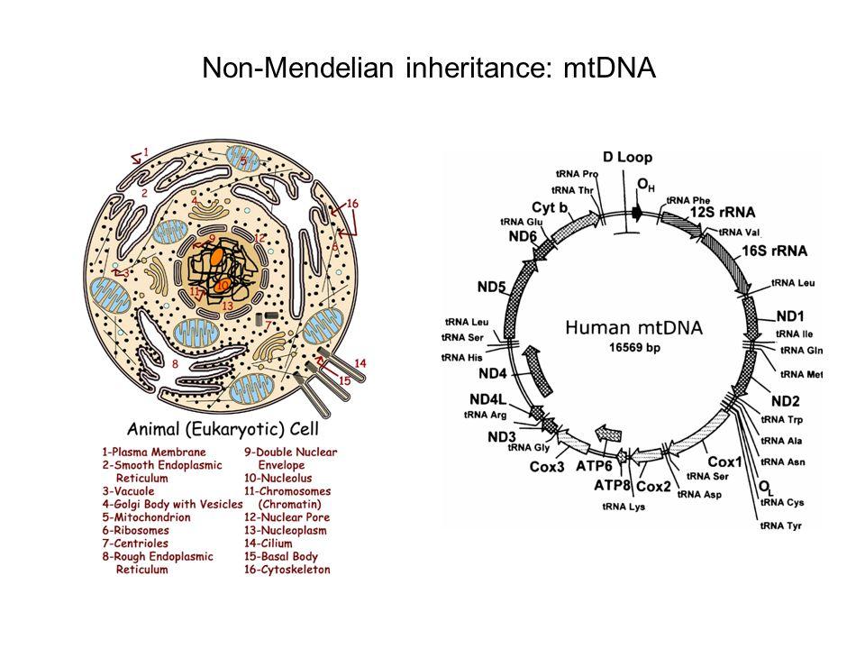Non-Mendelian inheritance: mtDNA