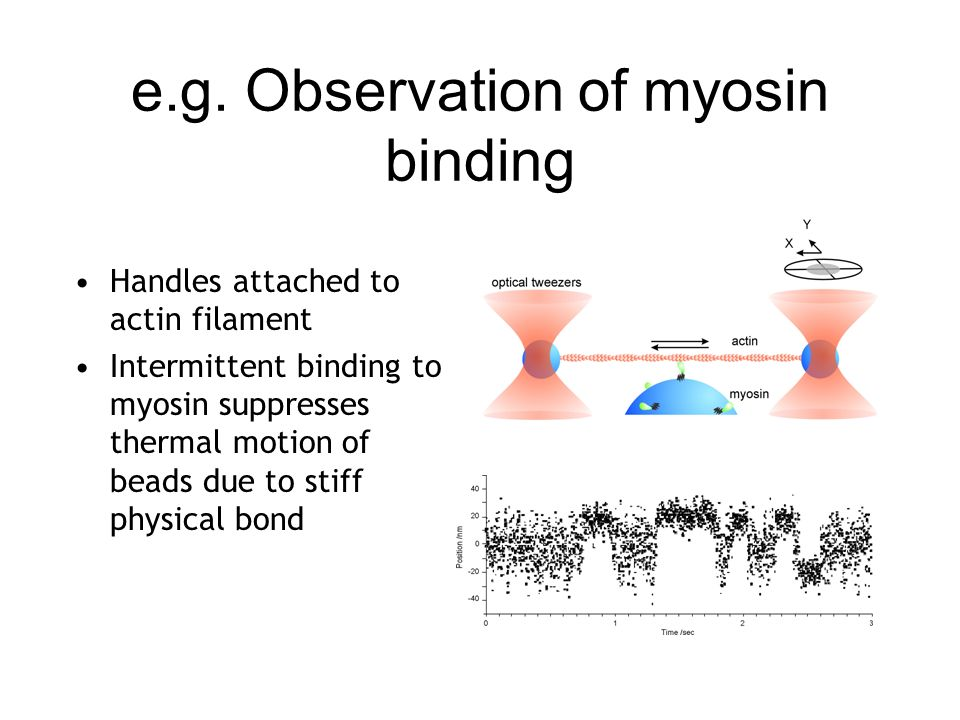 e.g. Observation of myosin binding Handles attached to actin filament Intermittent binding to myosin suppresses thermal motion of beads due to stiff p