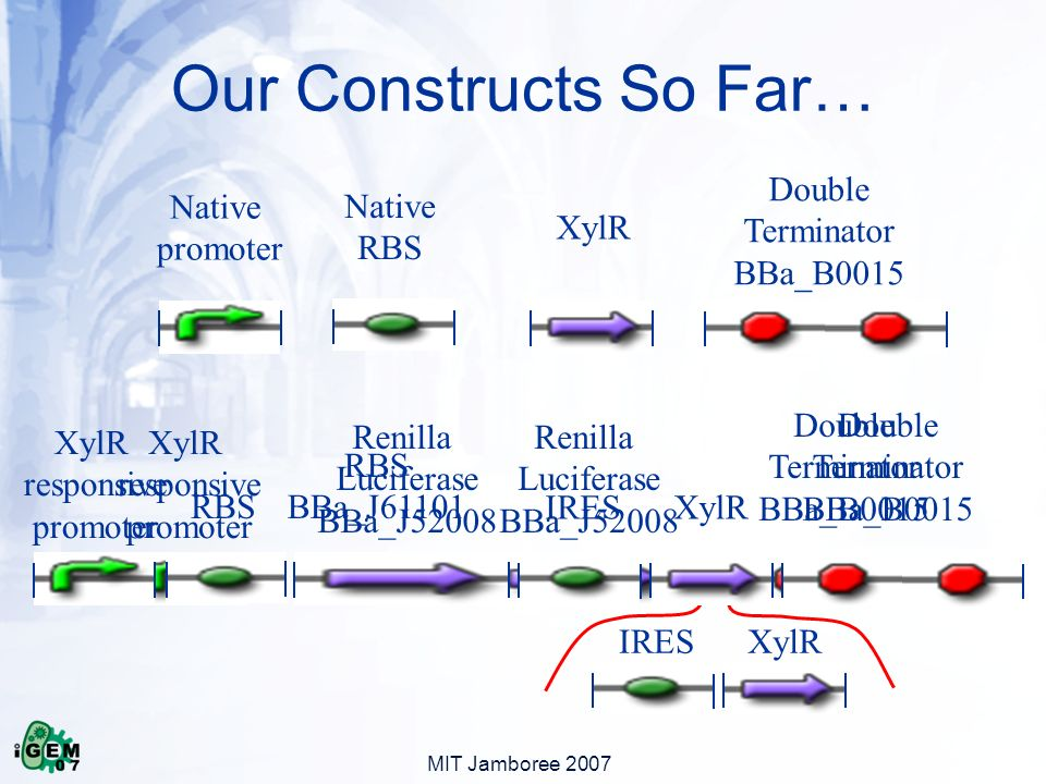 MIT Jamboree 2007 Our Constructs So Far… Native promoter XylR Double Terminator BBa_B0015 Native RBS XylR responsive promoter Double Terminator BBa_B0015 RBS BBa_J61101 Renilla Luciferase BBa_J52008 IRESXylR responsive promoter RBS Renilla Luciferase BBa_J52008 Double Terminator BBa_B0015 IRESXylR