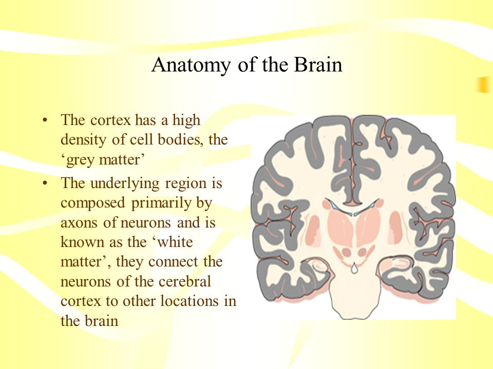 Anatomy of the Brain The cortex has a high density of cell bodies, the grey matter The underlying region is composed primarily by axons of neurons and