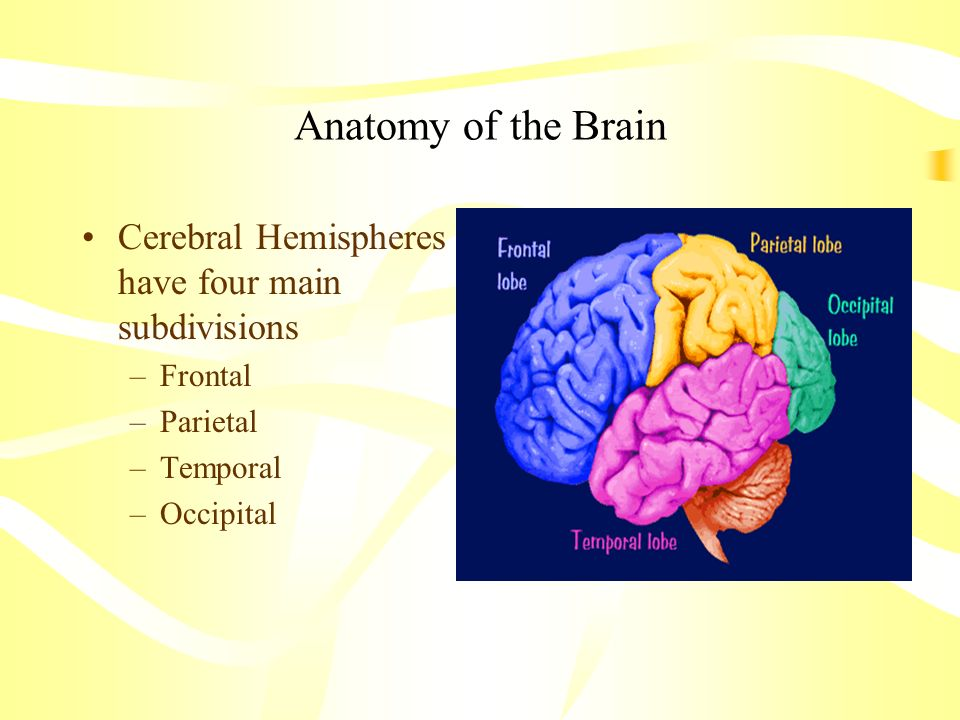Anatomy of the Brain Cerebral Hemispheres have four main subdivisions –Frontal –Parietal –Temporal –Occipital