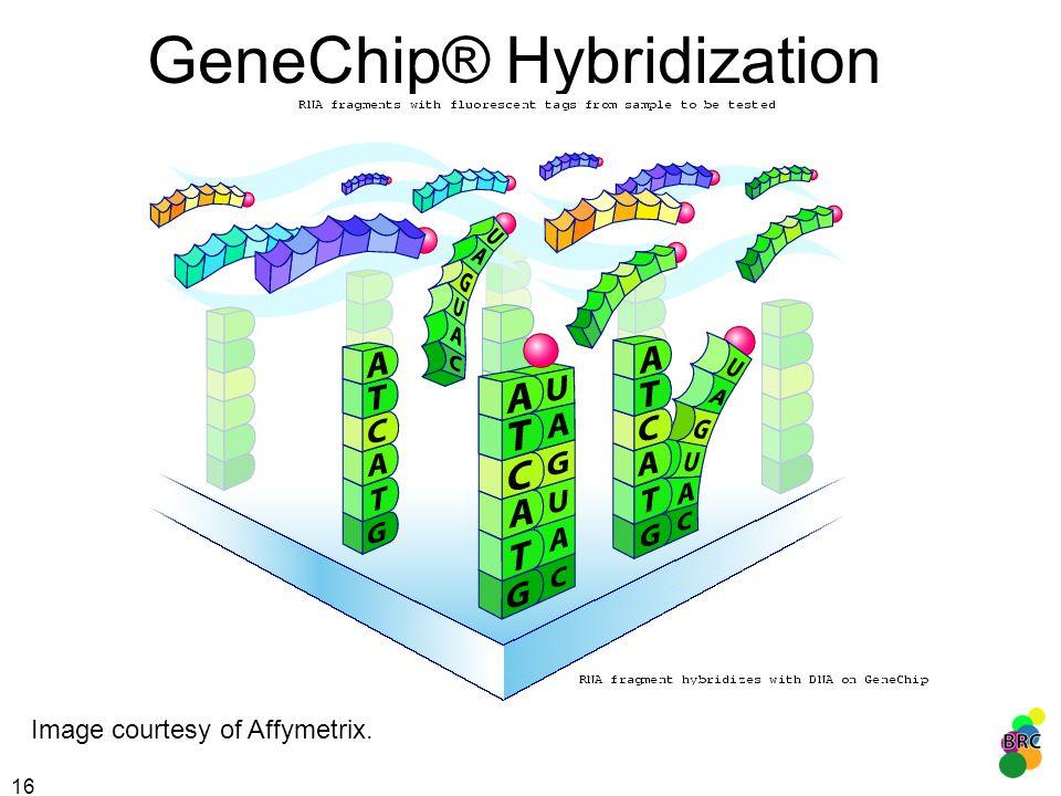16 GeneChip® Hybridization Image courtesy of Affymetrix.