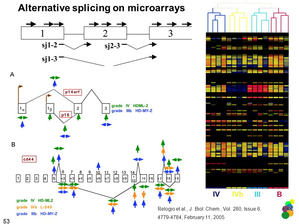 53 Alternative splicing on microarrays Relogio et al., J. Biol. Chem., Vol. 280, Issue 6, 4779-4784, February 11, 2005