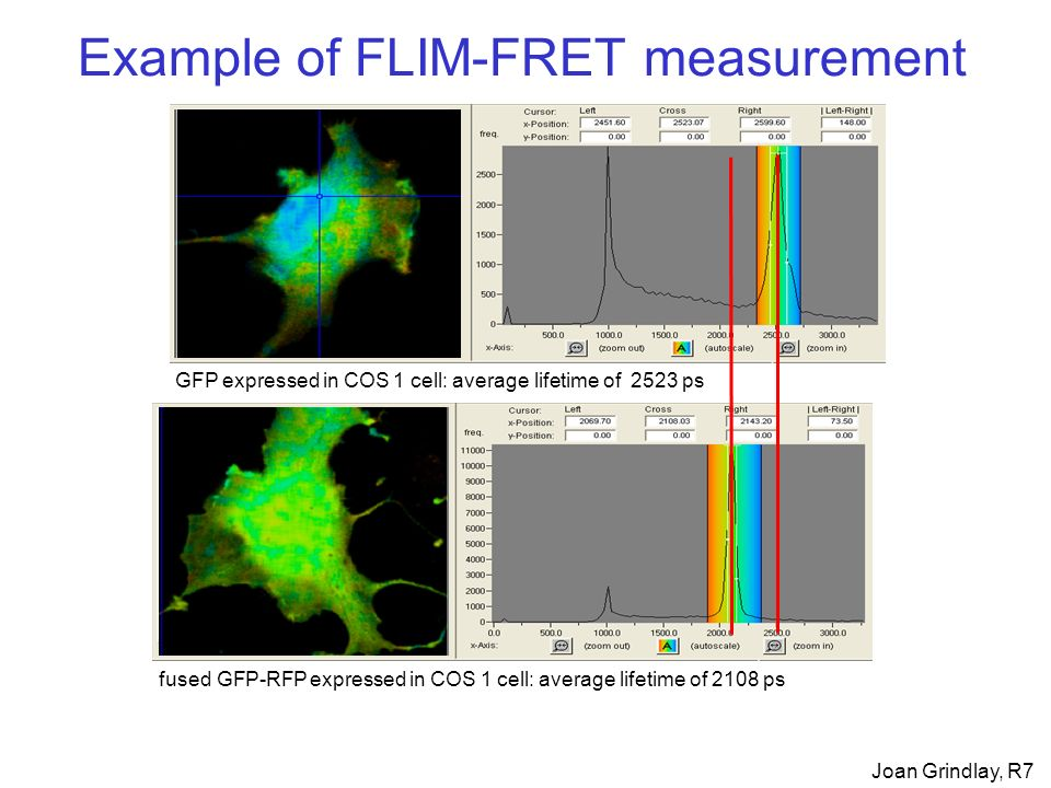 Example of FLIM-FRET measurement GFP expressed in COS 1 cell: average lifetime of 2523 ps fused GFP-RFP expressed in COS 1 cell: average lifetime of 2