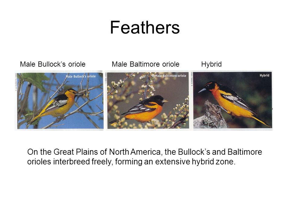 Feathers On the Great Plains of North America, the Bullocks and Baltimore orioles interbreed freely, forming an extensive hybrid zone. Male Bullocks o