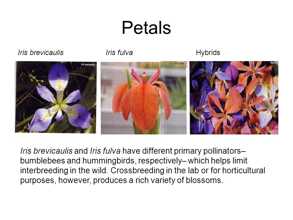 Petals Iris brevicaulis and Iris fulva have different primary pollinators– bumblebees and hummingbirds, respectively– which helps limit interbreeding