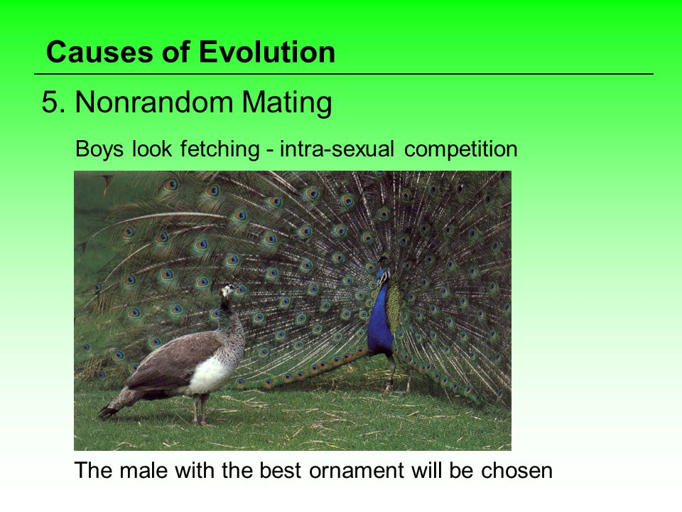 Causes of Evolution 5. Nonrandom Mating Boys look fetching - intra-sexual competition The male with the best ornament will be chosen