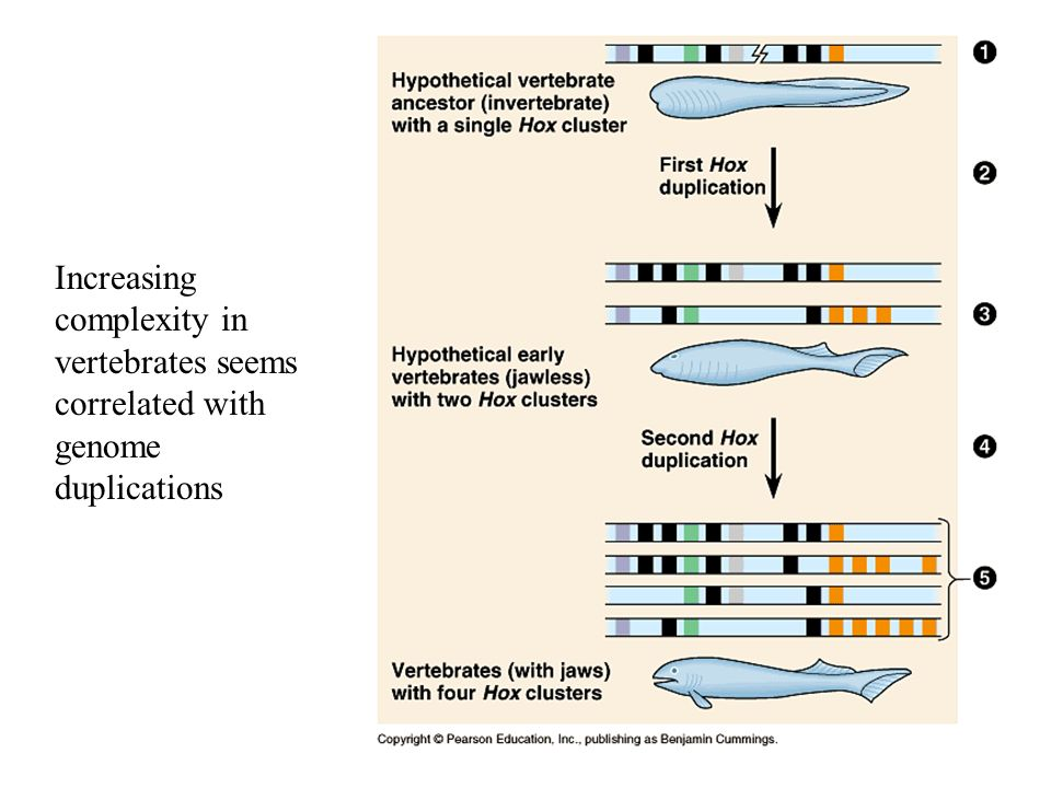 Increasing complexity in vertebrates seems correlated with genome duplications