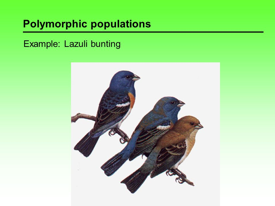 Polymorphic populations Example: Swallowtail butterfly