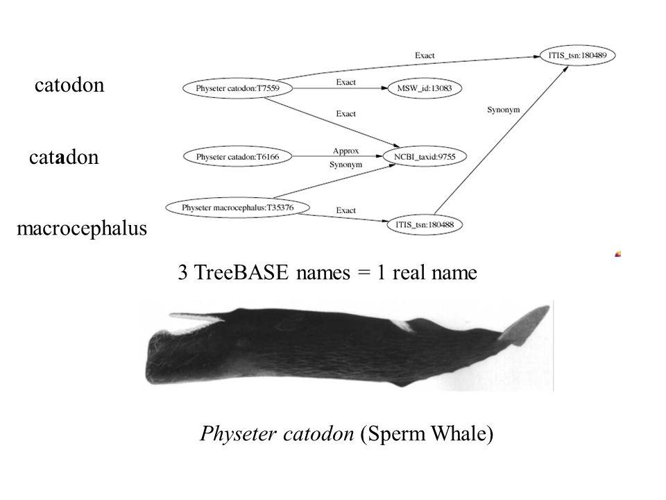 3 TreeBASE names = 1 real name catodon catadon macrocephalus Physeter catodon (Sperm Whale)