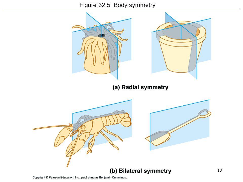 13 Figure 32.5 Body symmetry