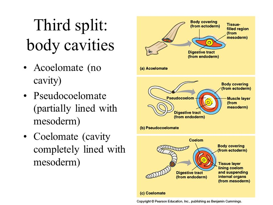 15 Third split: body cavities Acoelomate (no cavity) Pseudocoelomate (partially lined with mesoderm) Coelomate (cavity completely lined with mesoderm)