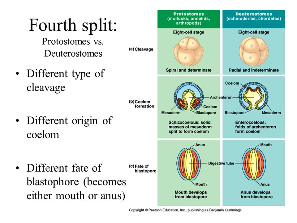 16 Fourth split: Protostomes vs.