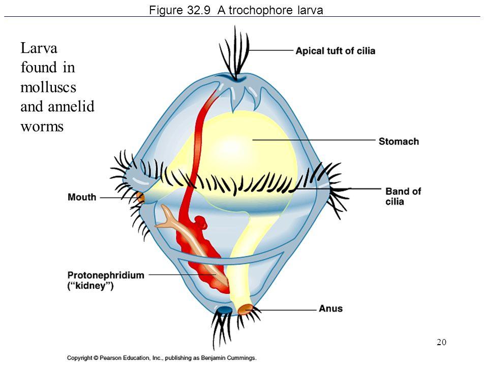 20 Figure 32.9 A trochophore larva Larva found in molluscs and annelid worms