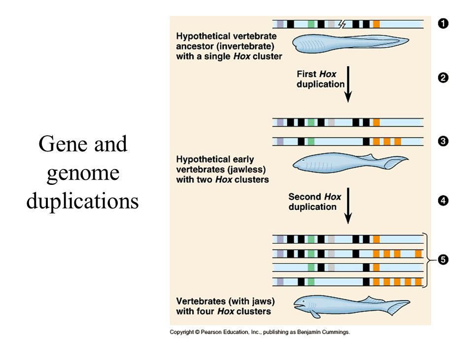 26 Gene and genome duplications