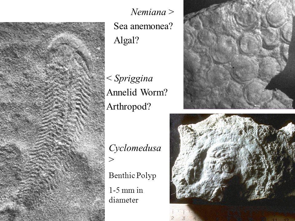 30 < Spriggina Annelid Worm? Arthropod? Cyclomedusa > Benthic Polyp 1-5 mm in diameter Nemiana > Sea anemonea? Algal?