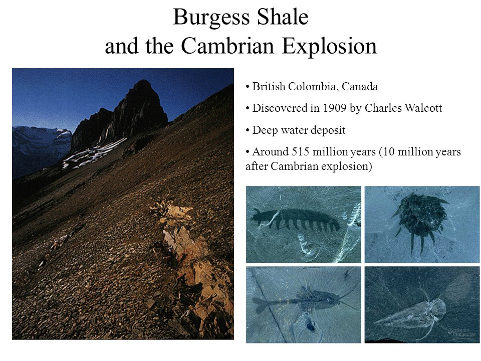 32 British Colombia, Canada Discovered in 1909 by Charles Walcott Deep water deposit Around 515 million years (10 million years after Cambrian explosi