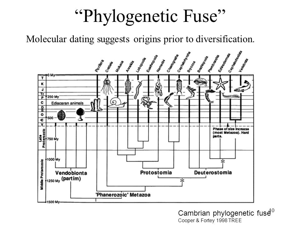 40 Phylogenetic Fuse Molecular dating suggests origins prior to diversification.