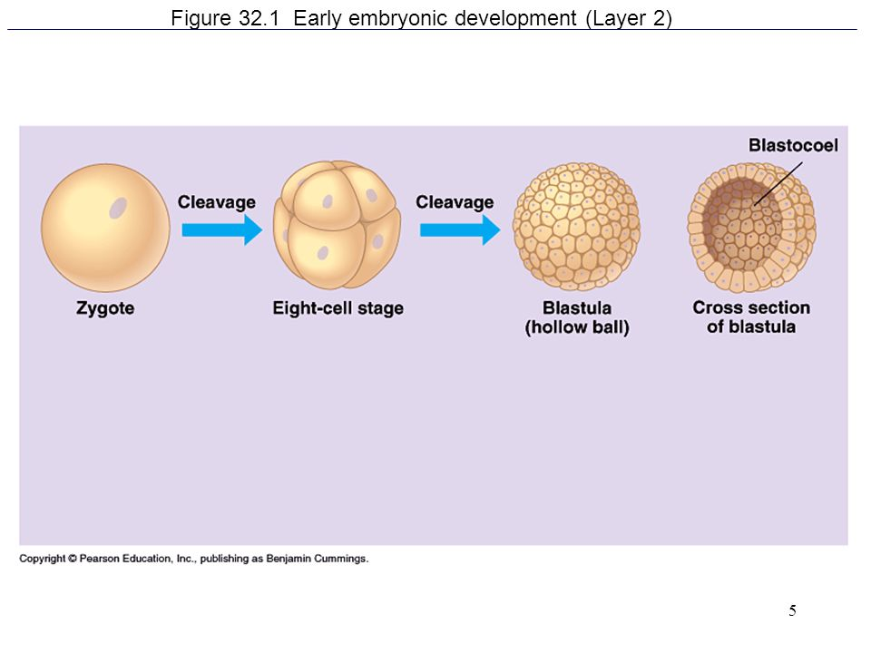 5 Figure 32.1 Early embryonic development (Layer 2)