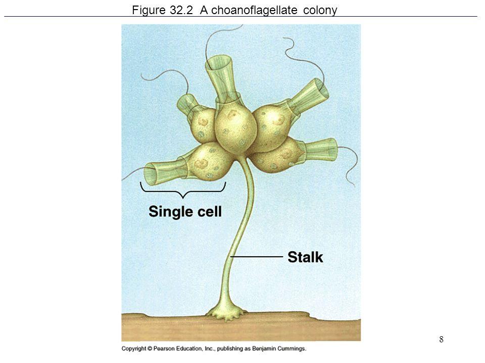 8 Figure 32.2 A choanoflagellate colony