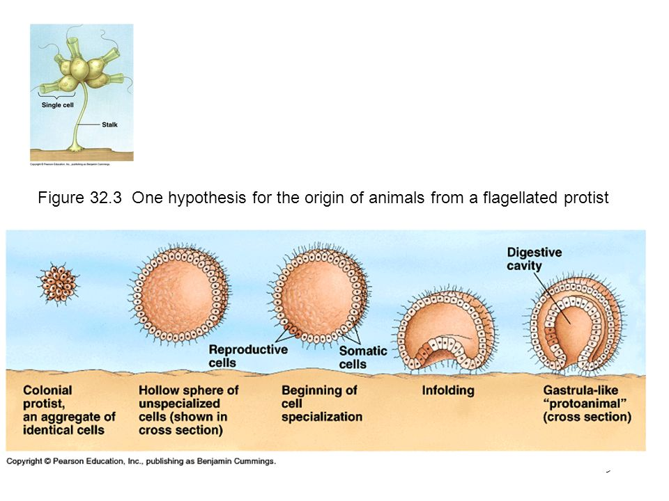 9 Figure 32.3 One hypothesis for the origin of animals from a flagellated protist