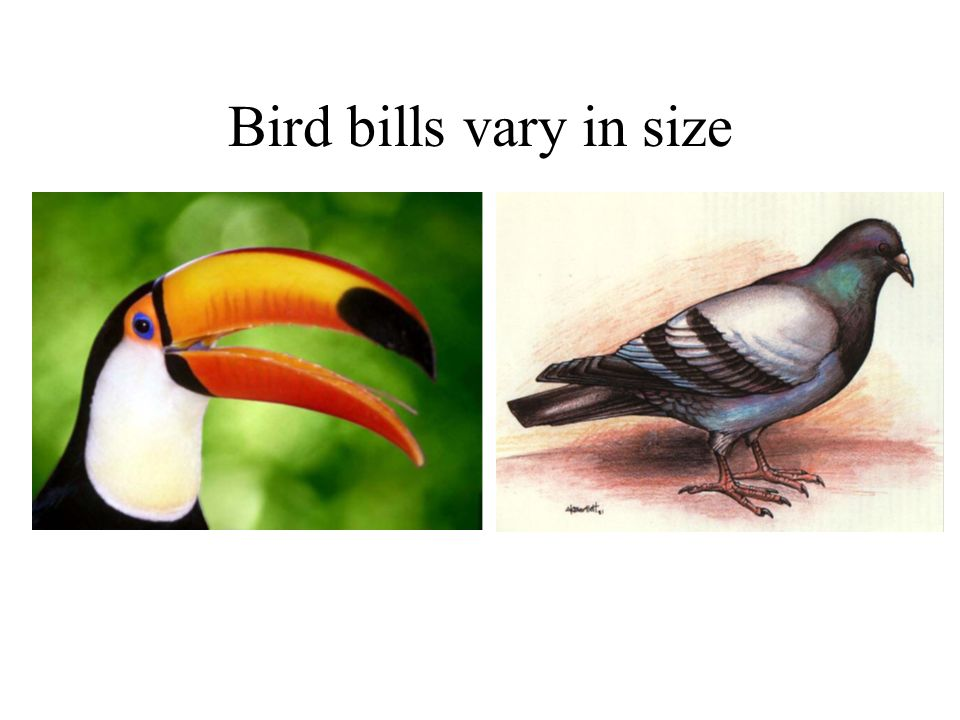 Bird bills vary in size