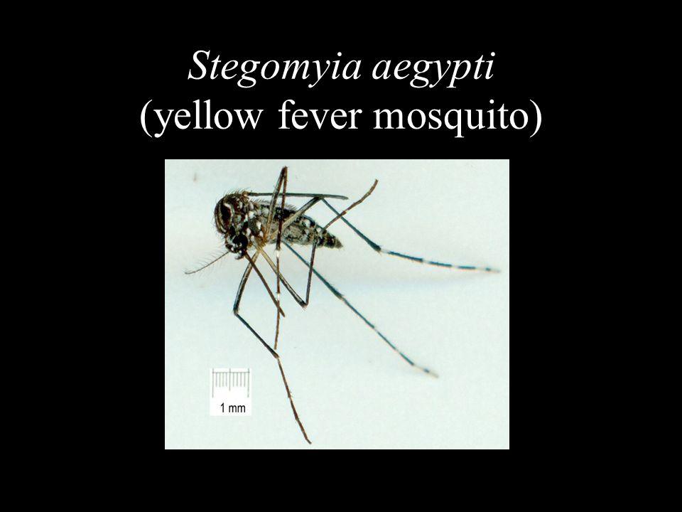 18 Stegomyia aegypti (yellow fever mosquito)