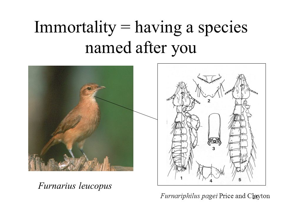25 Immortality = having a species named after you Furnarius leucopus Furnariphilus pagei Price and Clayton