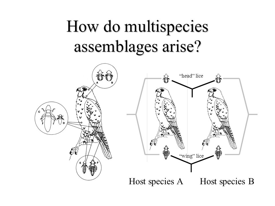 How do multispecies assemblages arise Host species AHost species B head lice wing lice