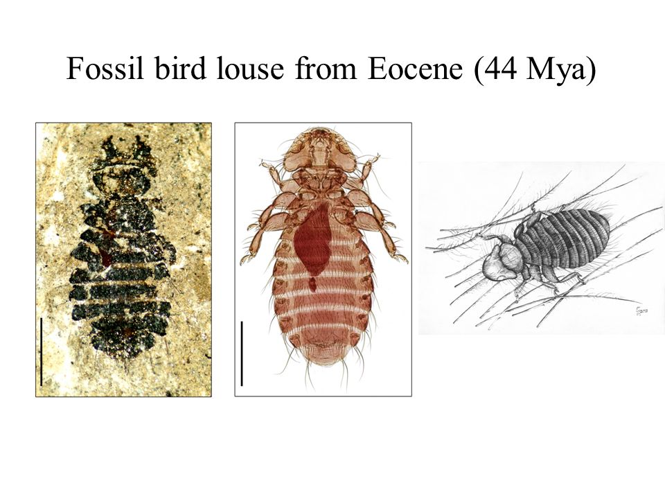 Fossil bird louse from Eocene (44 Mya)