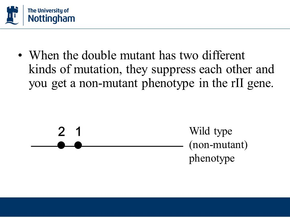 When the double mutant has two different kinds of mutation, they suppress each other and you get a non-mutant phenotype in the rII gene. Wild type (no