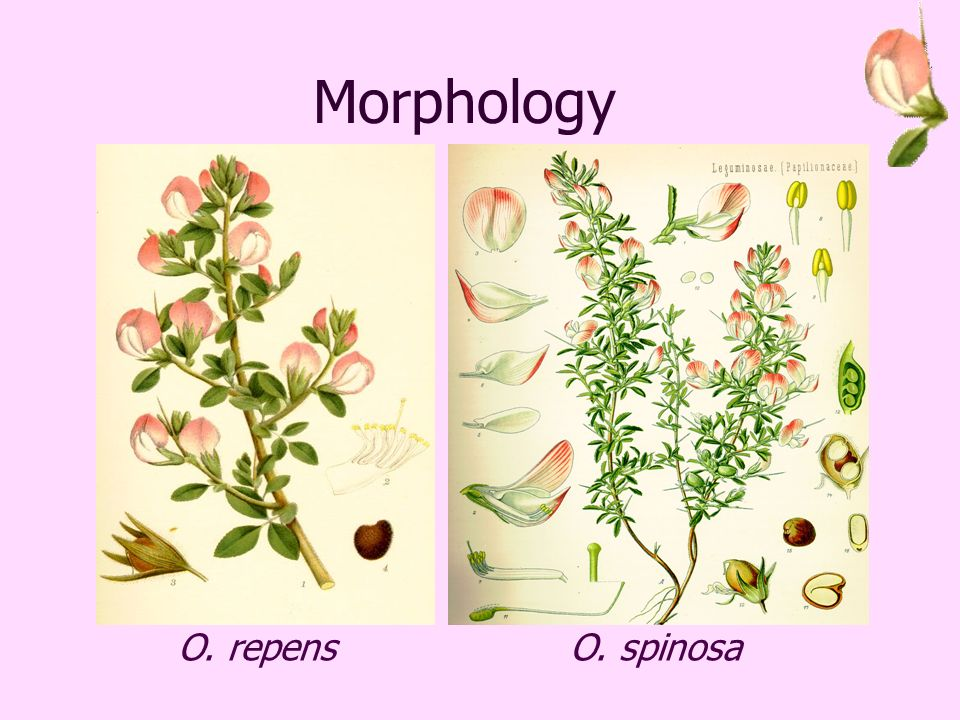 Morphology O. repensO. spinosa