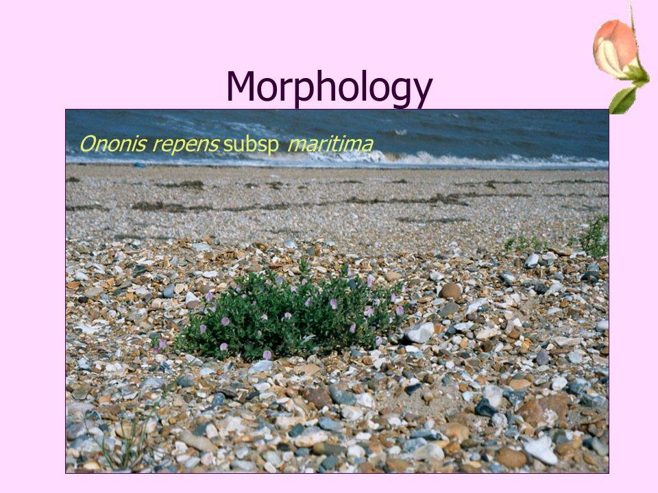 Morphology Ononis spinosa