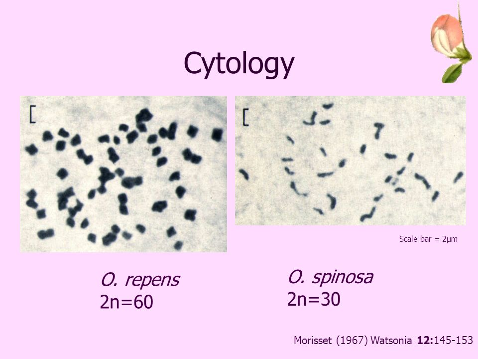 Cytology O. repens 2n=60 O. spinosa 2n=30 Scale bar = 2μm Morisset (1967) Watsonia 12: