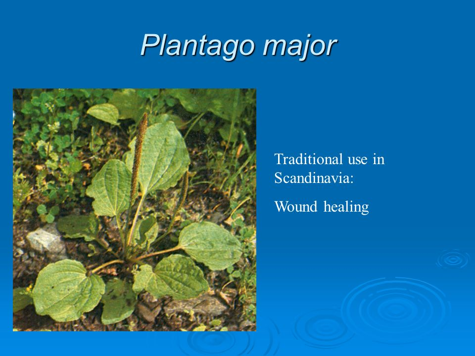 Plantago major Traditional use in Scandinavia: Wound healing
