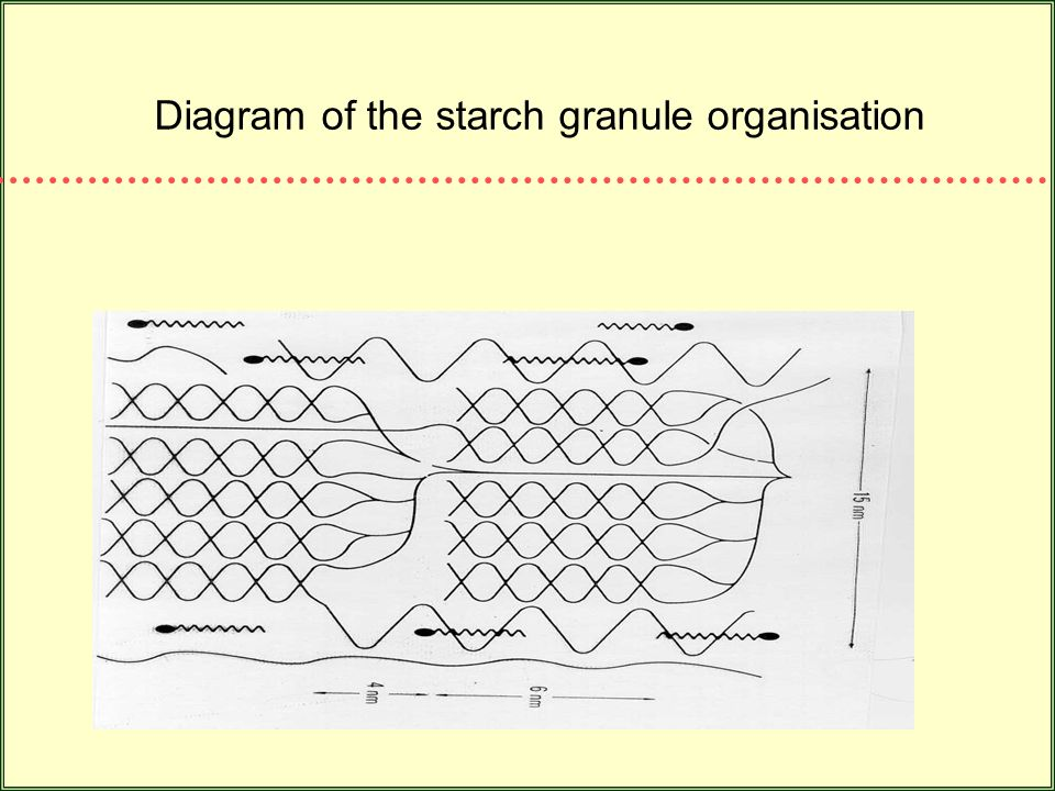 Diagram of the starch granule organisation