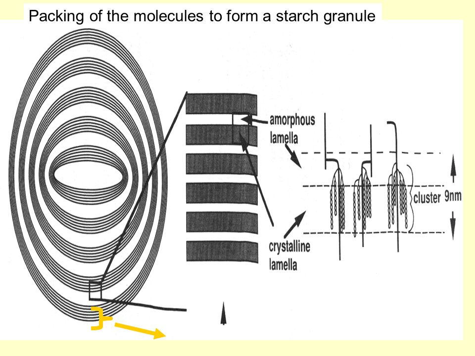 Packing of the molecules to form a starch granule
