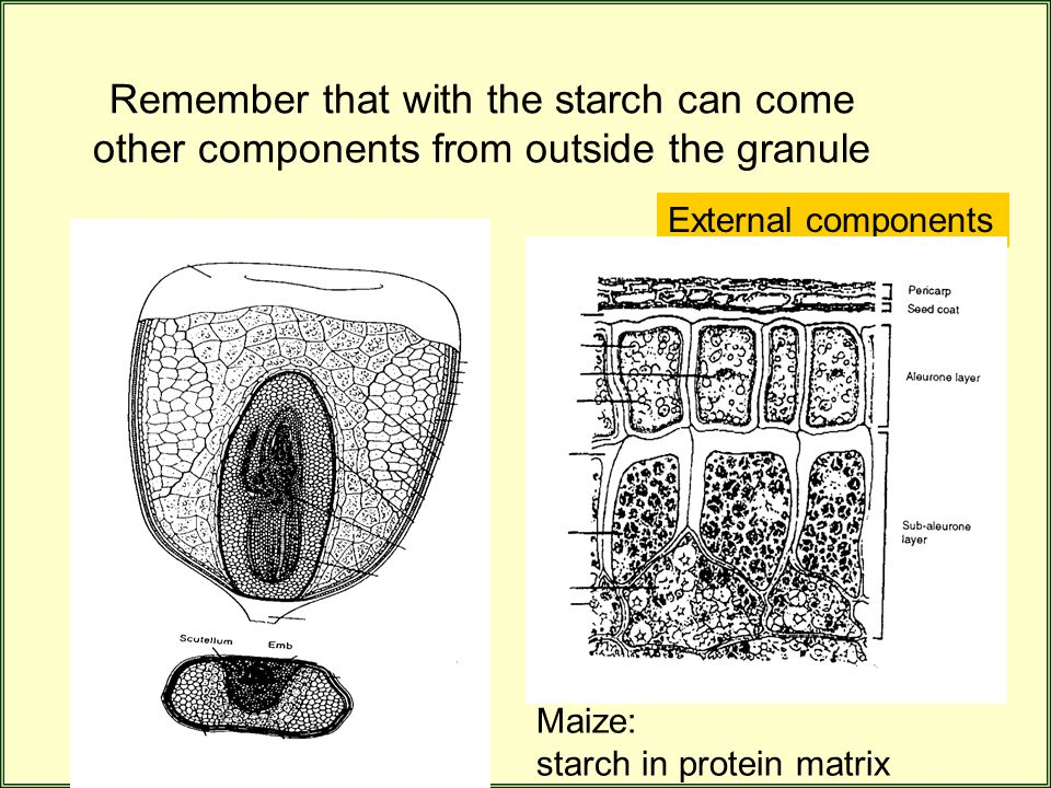 Remember that with the starch can come other components from outside the granule External components Maize: starch in protein matrix