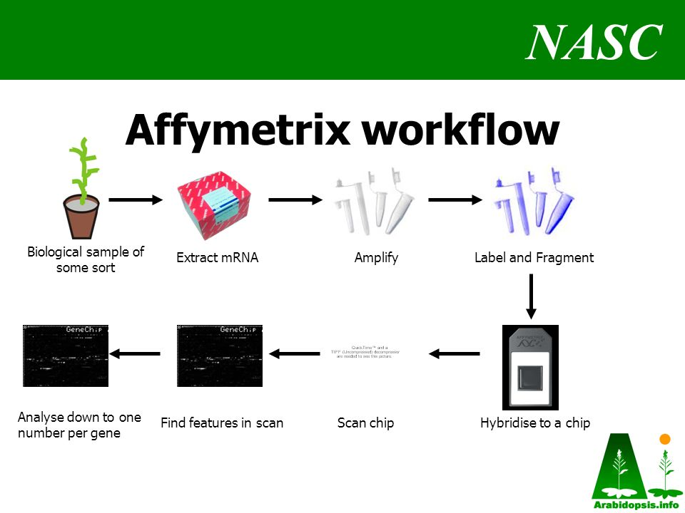 NASC Affymetrix workflow Biological sample of some sort AmplifyExtract mRNALabel and Fragment Hybridise to a chipScan chipFind features in scan Analyse down to one number per gene