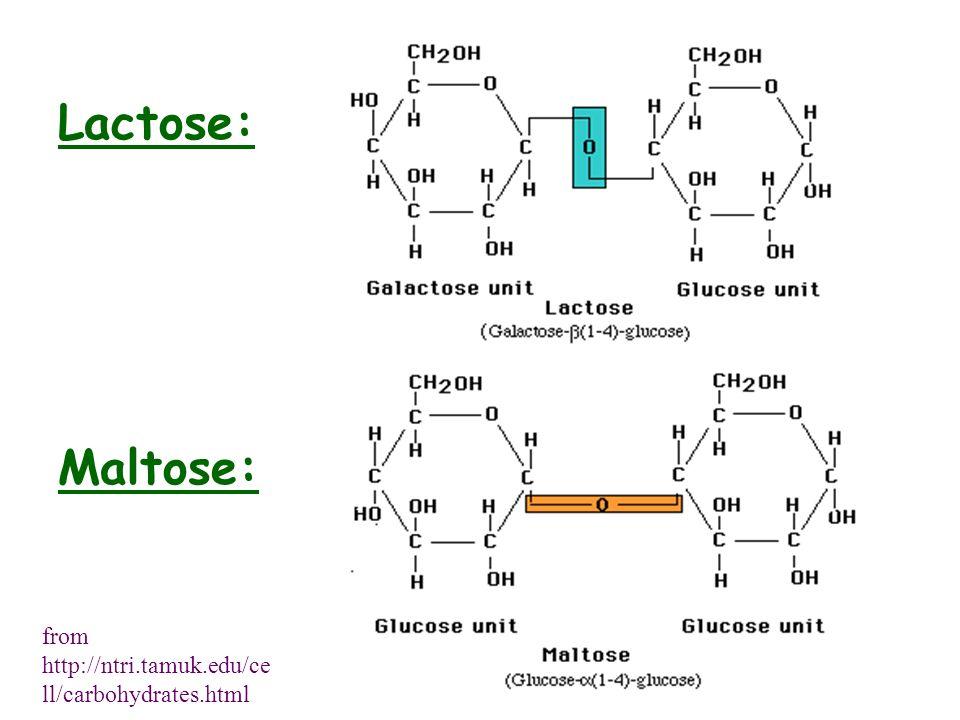 Lactose: Maltose: from http://ntri.tamuk.edu/ce ll/carbohydrates.html