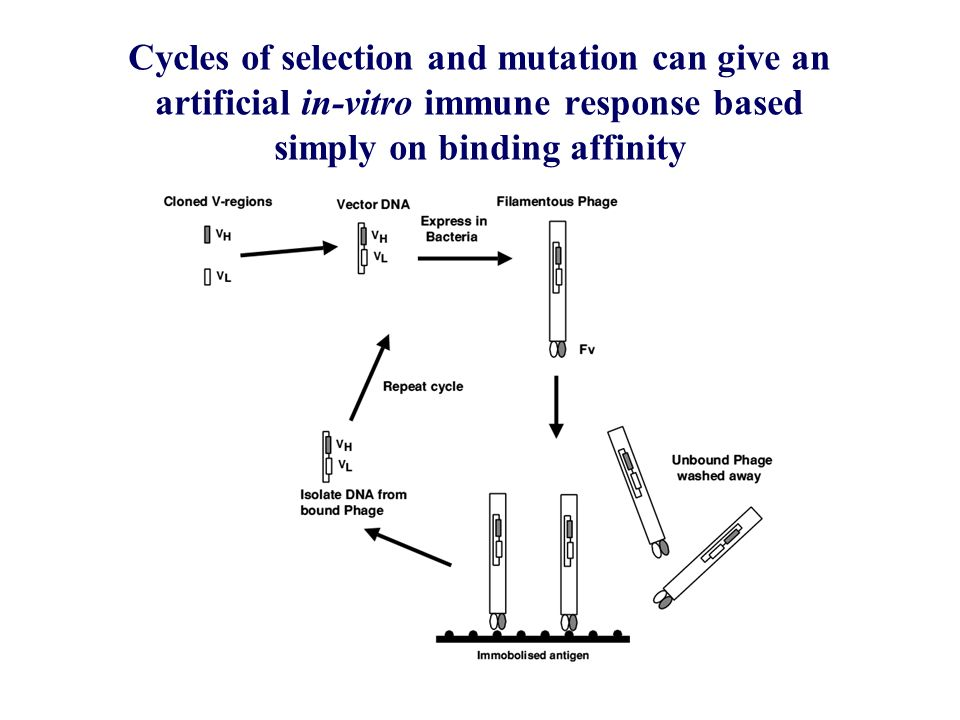 Residues at key positions in mutated constant regions