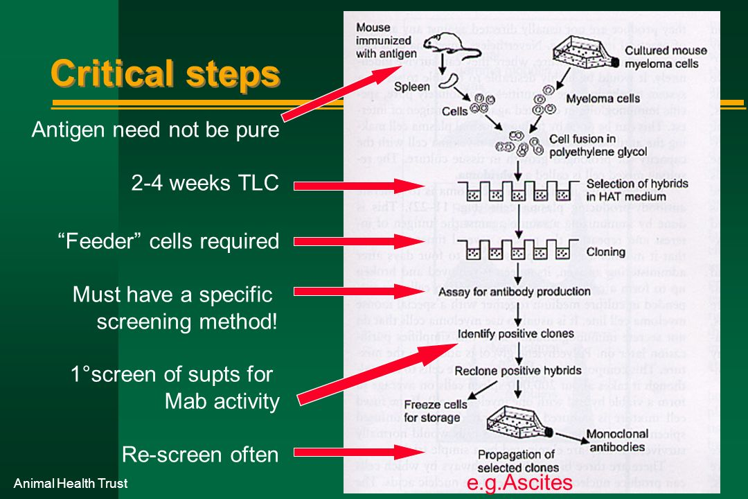 Animal Health Trust Critical steps Antigen need not be pure 2-4 weeks TLC Feeder cells required Must have a specific screening method! 1°screen of sup