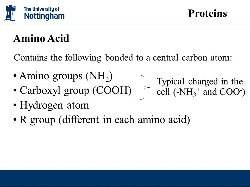Amino groups (NH 2 ) Carboxyl group (COOH) Hydrogen atom R group (different in each amino acid) Amino Acid Contains the following bonded to a central