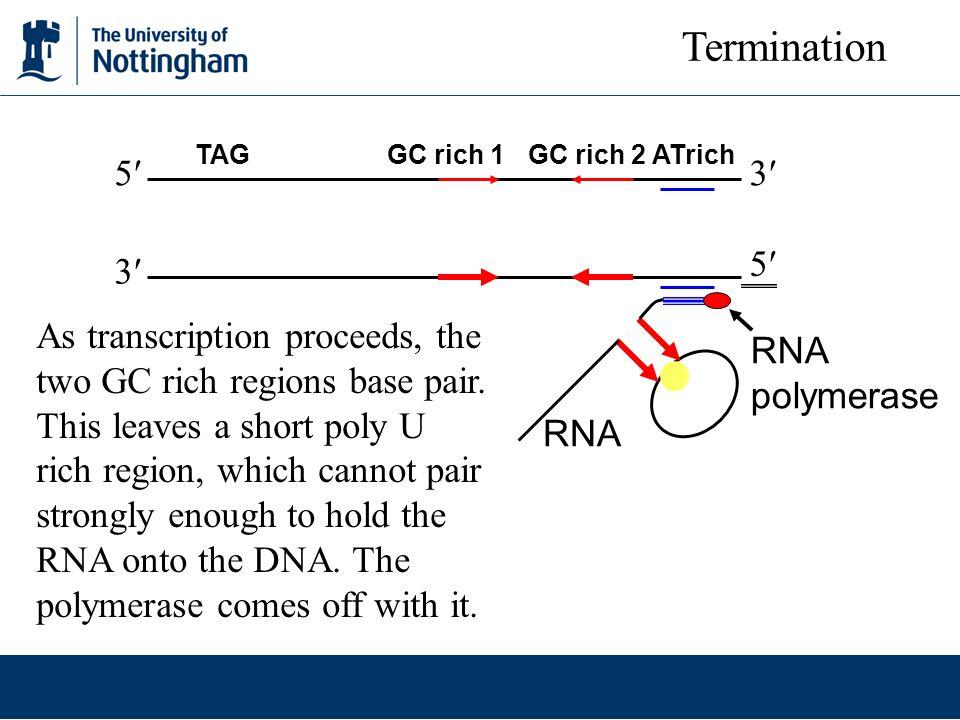 TAGGC rich 1 GC rich 2 ATrich RNA RNA polymerase As transcription proceeds, the two GC rich regions base pair. This leaves a short poly U rich region,